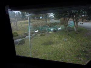 窓越しにアヒルと白鳥 1