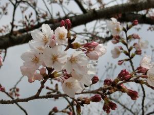 桜_20160328