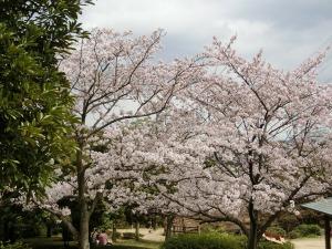 桜が満開_20170409