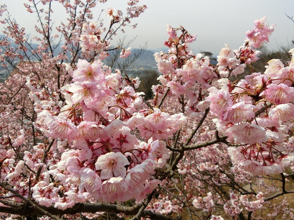 桃の花_2_2017031